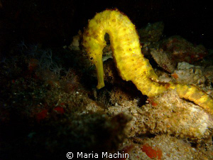 KOH TACHAI PINNACLE, 30m very shy seahorse by Maria Machin 
